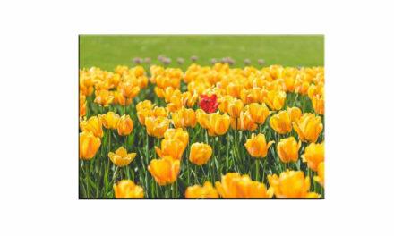 Week 23 – Red tulip
